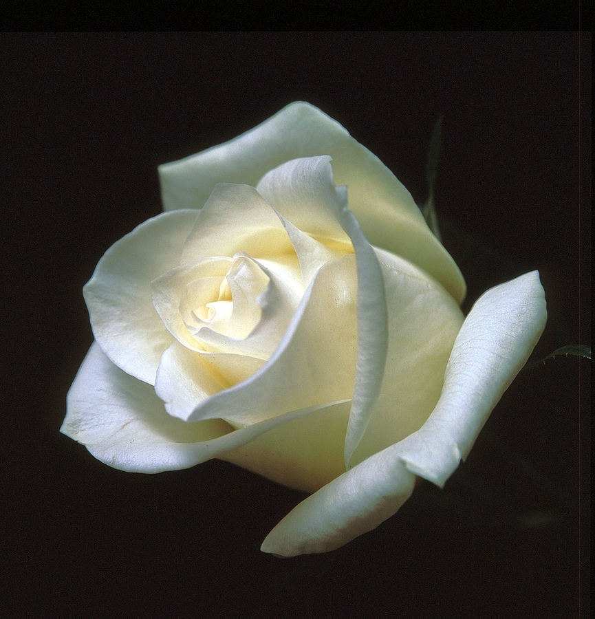 White rose | LENS MODEL NOT SET <br> Click image for more details, Click <b>X</b> on top right of image to close