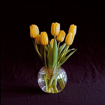 Yellow tulips | ZEISS SL66 PLANAR 80MM F2.8 <br> Click image for more details, Click <b>X</b> on top right of image to close