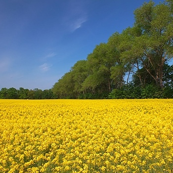 Blooming yellow field | LENS MODEL NOT SET <br> Click image for more details, Click <b>X</b> on top right of image to close