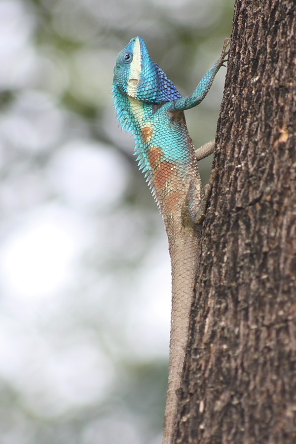 vivid color lizard | ZEISS CY VARIO-SONNAR 80-200MM F4 <br> Click image for more details, Click <b>X</b> on top right of image to close