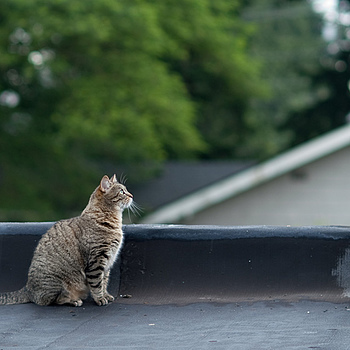 Roof Top Cat | ZEISS ZA PLANAR 85MM F1.4