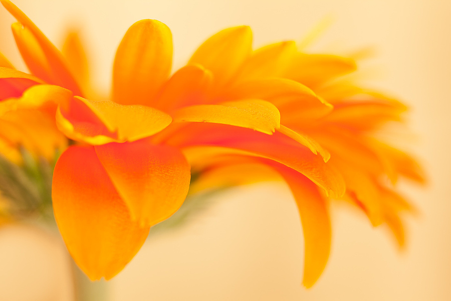 Orange Outburst | ZEISS CY MAKRO-PLANAR 60MM F2.8 <br> Click image for more details, Click <b>X</b> on top right of image to close