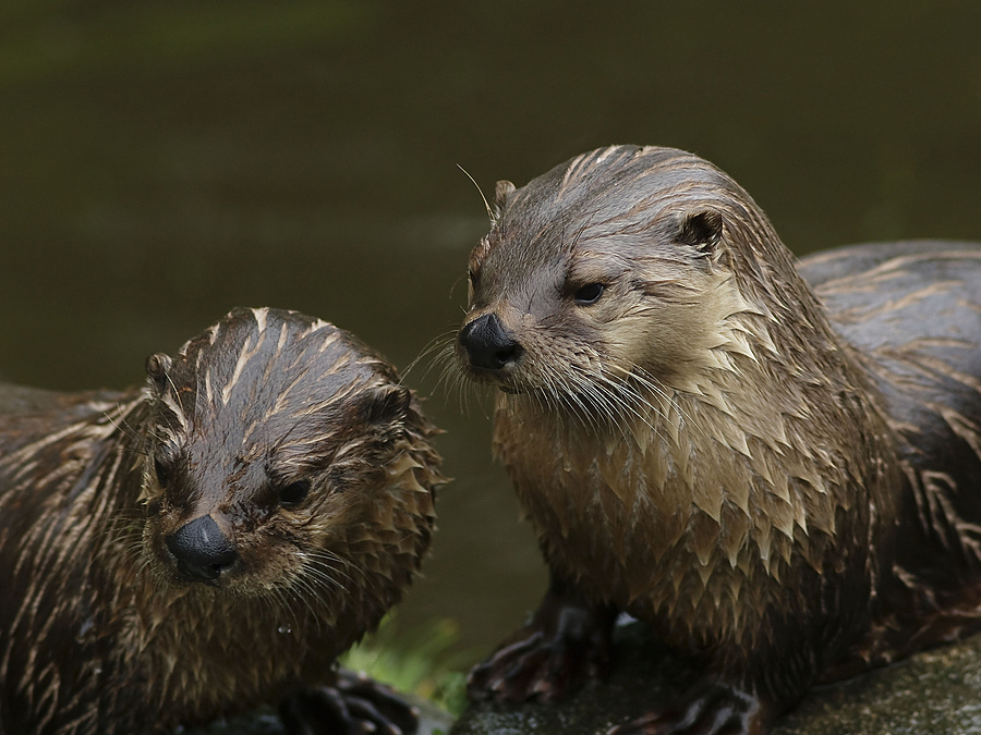 Otters | ZEISS CY SONNAR 135MM F2.8 <br> Click image for more details, Click <b>X</b> on top right of image to close