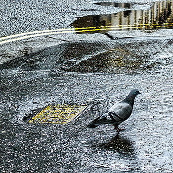 Pigeon on wet sidewalk | ZEISS ZEISS SONNAR 35MM F2 <br> Click image for more details, Click <b>X</b> on top right of image to close