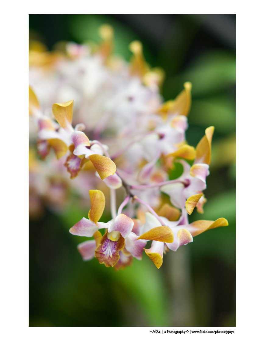 Orchid | ZEISS ZA SONNAR 135MM F1.8 <br> Click image for more details, Click <b>X</b> on top right of image to close