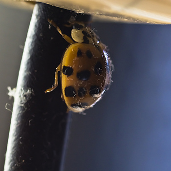 Bitting ladybug | ZEISS CY MAKRO-PLANAR 100MM F2.8 <br> Click image for more details, Click <b>X</b> on top right of image to close