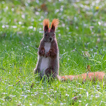 Squirrel without APO #A | ZEISS F TELE-TESSAR4/350