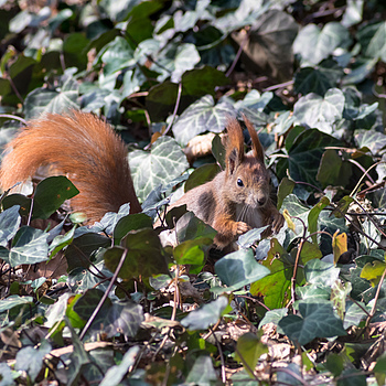 Squirrel without APO #D | ZEISS F TELE-TESSAR4/350