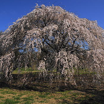 Weeping Cherry Tree | ZEISS ZA VARIO-SONNAR DT F3.5-F4.5 16-80MM <br> Click image for more details, Click <b>X</b> on top right of image to close