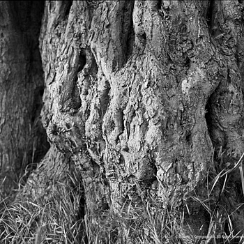 Old Olive Tree, Makri, Dec.1983 | ZEISS C PLANAR 80MM F2.8 <br> Click image for more details, Click <b>X</b> on top right of image to close