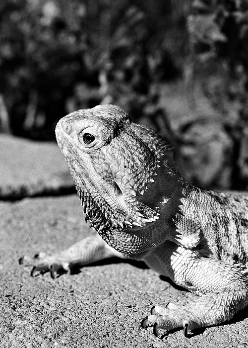 A Friends Bearded Dragon Lizard | ZEISS MAKRO PLANAR F2.0 50MM <br> Click image for more details, Click <b>X</b> on top right of image to close
