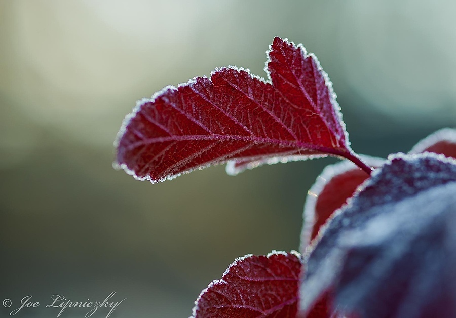 Frost on red leave | ZEISS MAKRO PLANAR F2.0 100MM <br> Click image for more details, Click <b>X</b> on top right of image to close