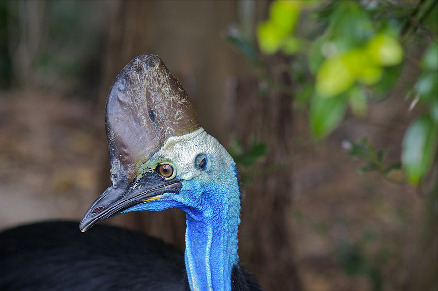 Cassowary Australian Native Bird | ZEISS ZA PLANAR 85MM F1.4 <br> Click image for more details, Click <b>X</b> on top right of image to close