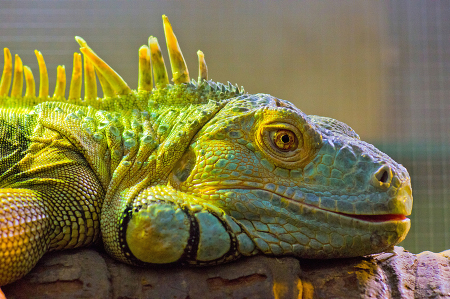 Green Iguana | ZEISS ZA PLANAR 85MM F1.4 <br> Click image for more details, Click <b>X</b> on top right of image to close