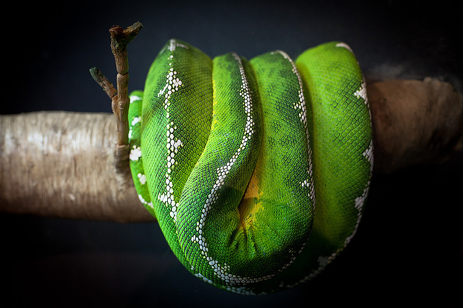 Emerald Tree Boa | ZEISS DISTAGON F1.4 35MM <br> Click image for more details, Click <b>X</b> on top right of image to close
