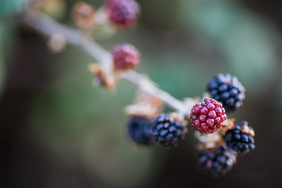 Macro de moras | LENS MODEL NOT SET <br> Click image for more details, Click <b>X</b> on top right of image to close