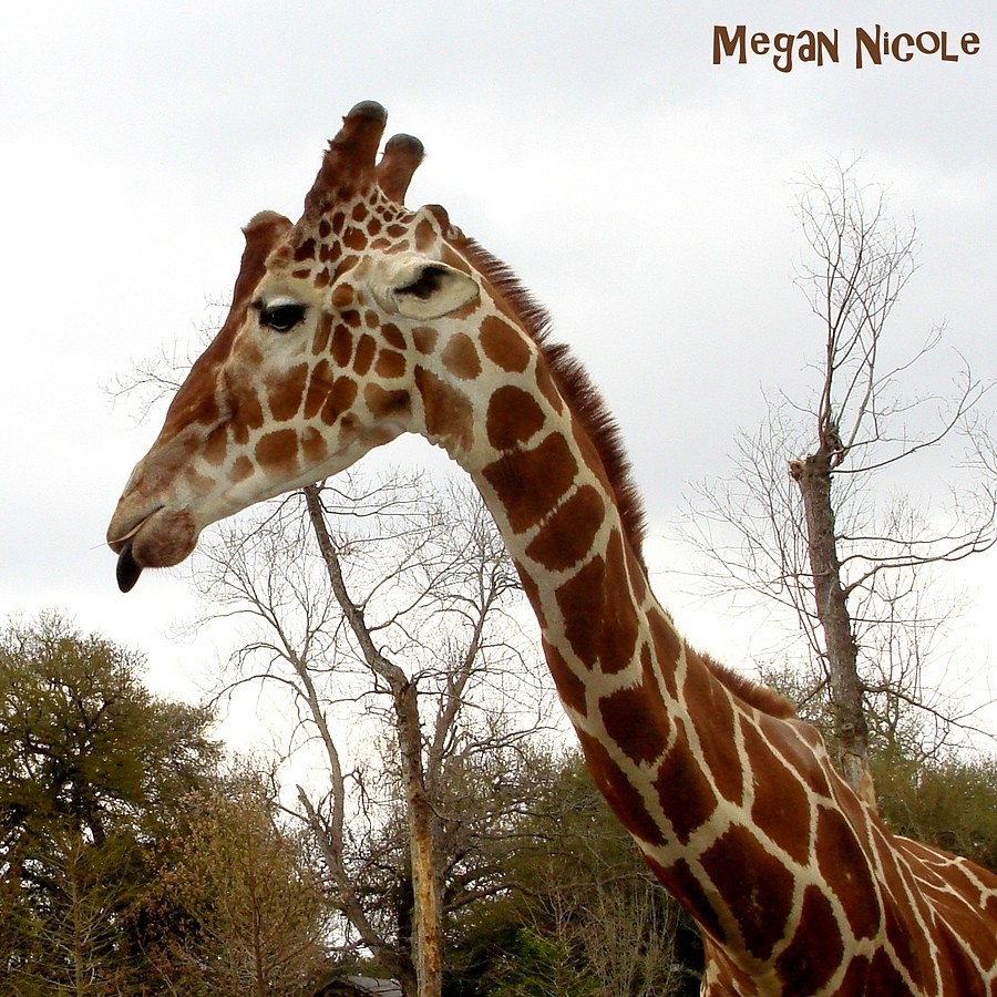 Giraffe Sticking Out the Tongue | LENS MODEL NOT SET <br> Click image for more details, Click <b>X</b> on top right of image to close