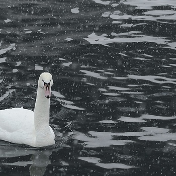 Snow Swan | ZEISS MAKRO PLANAR F2.0 100MM <br> Click image for more details, Click <b>X</b> on top right of image to close