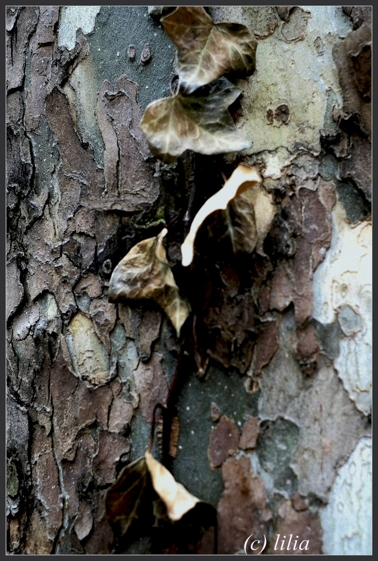 bark of tree | LENS MODEL NOT SET <br> Click image for more details, Click <b>X</b> on top right of image to close