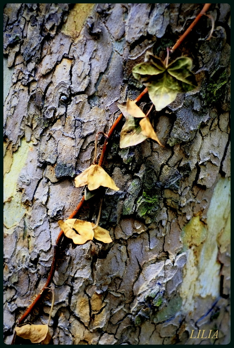 leaves on tree trunk 1 | LENS MODEL NOT SET <br> Click image for more details, Click <b>X</b> on top right of image to close