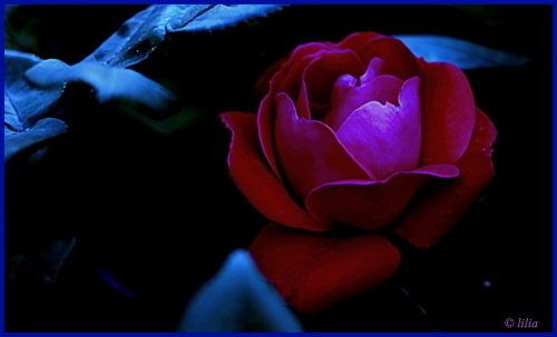 twilight rose | LENS MODEL NOT SET <br> Click image for more details, Click <b>X</b> on top right of image to close