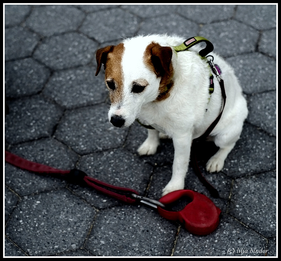 Jack Russell terrier | LENS MODEL NOT SET <br> Click image for more details, Click <b>X</b> on top right of image to close