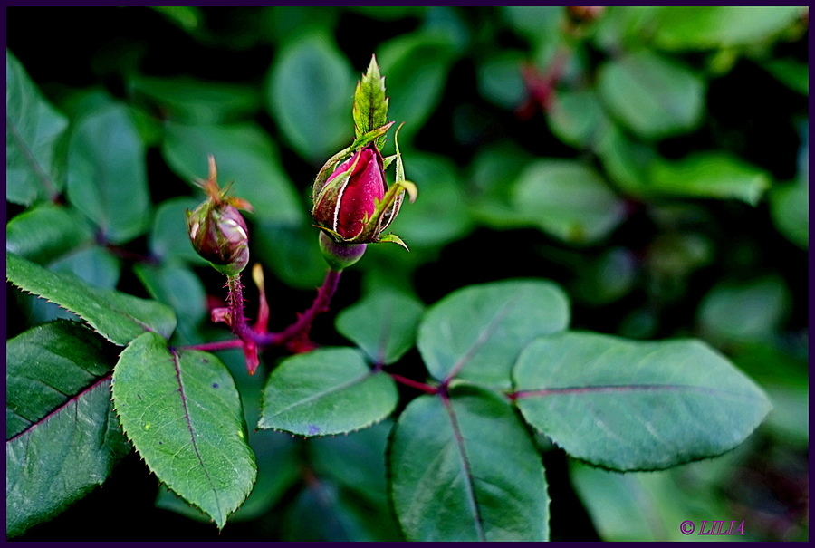 rosebud 2 | LENS MODEL NOT SET <br> Click image for more details, Click <b>X</b> on top right of image to close