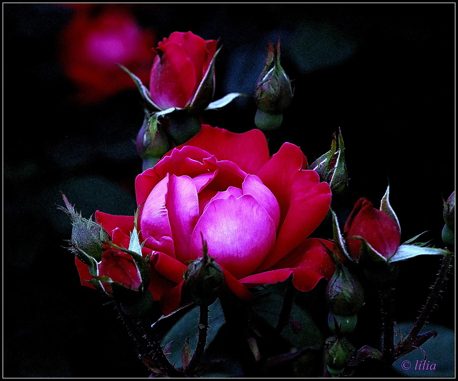 evening rose | LENS MODEL NOT SET <br> Click image for more details, Click <b>X</b> on top right of image to close