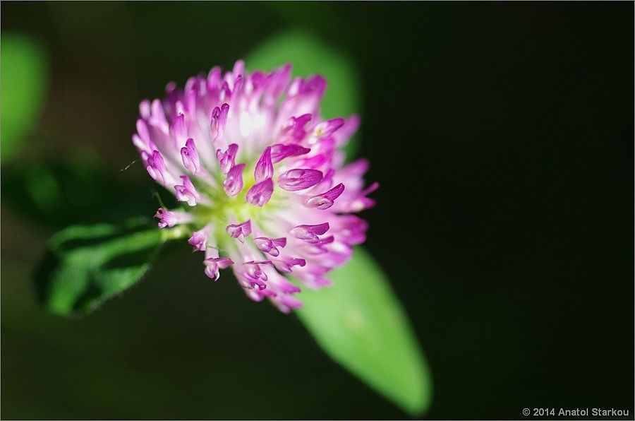 Clover. | ZEISS MAKRO PLANAR F2.0 50MM <br> Click image for more details, Click <b>X</b> on top right of image to close