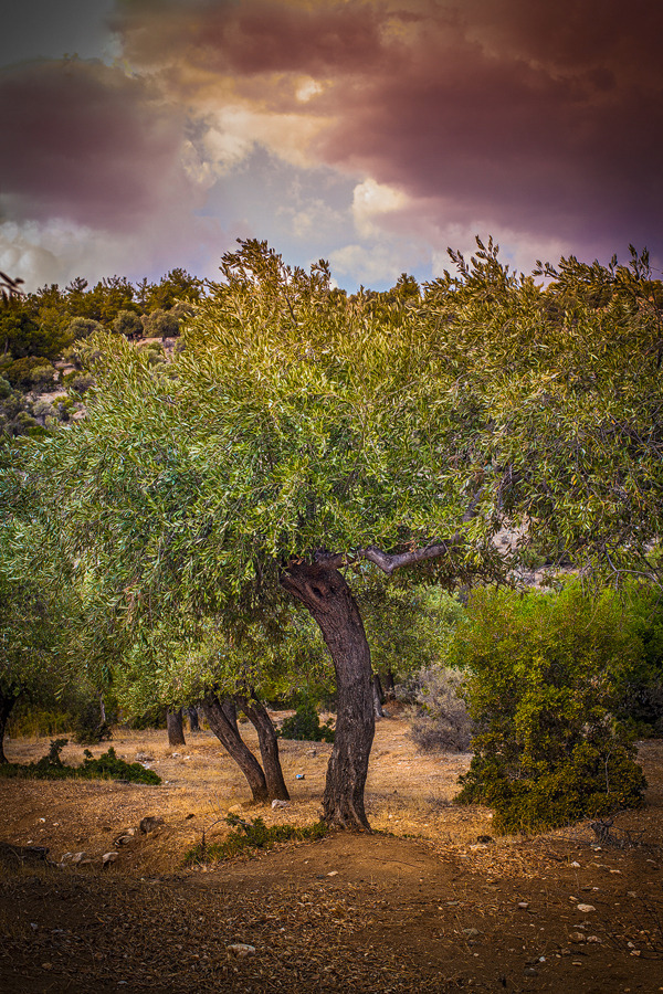 olive trees in Greece | ZEISS PLANAR F1.4 50MM <br> Click image for more details, Click <b>X</b> on top right of image to close