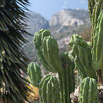 Cactus garden in Monte Carlo | ZEISS PLANAR F1.4 50MM <br> Click image for more details, Click <b>X</b> on top right of image to close