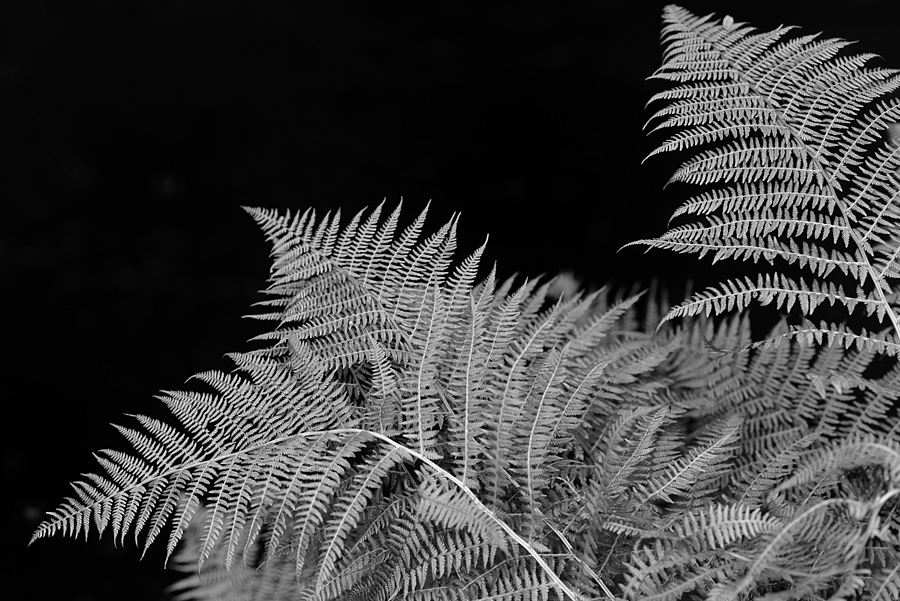 Ferns | ZEISS MAKRO PLANAR F2.0 100MM <br> Click image for more details, Click <b>X</b> on top right of image to close