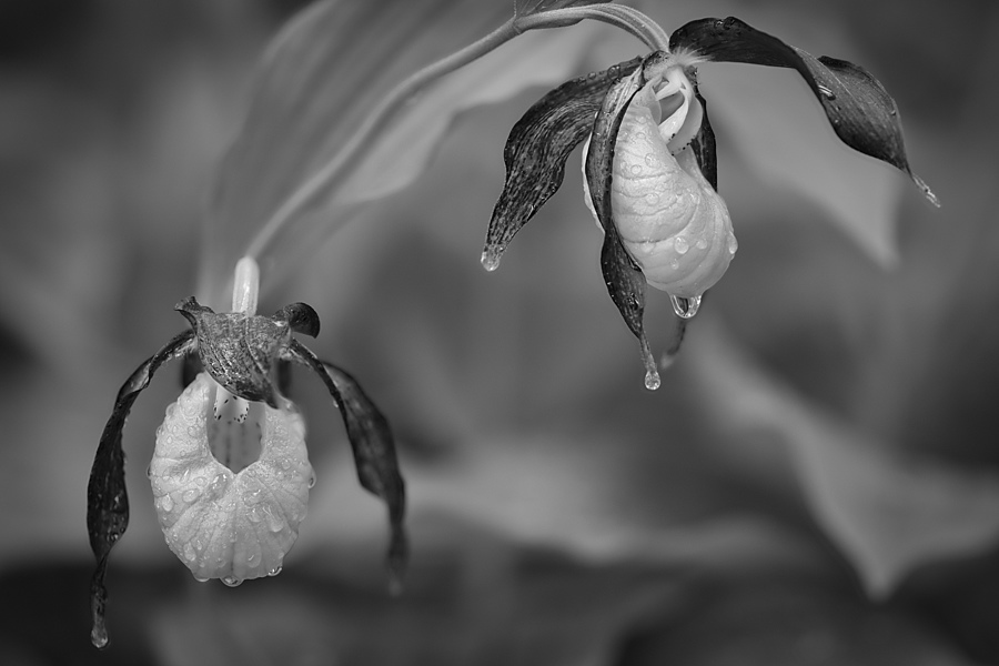 Cypripedium calculus | ZEISS MAKRO PLANAR F2.0 100MM <br> Click image for more details, Click <b>X</b> on top right of image to close