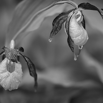 Cypripedium calculus | ZEISS MAKRO PLANAR F2.0 100MM