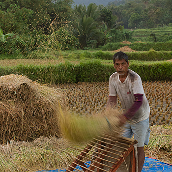 Threshing Rice | ZEISS DISTAGON F2.0 35MM <br> Click image for more details, Click <b>X</b> on top right of image to close