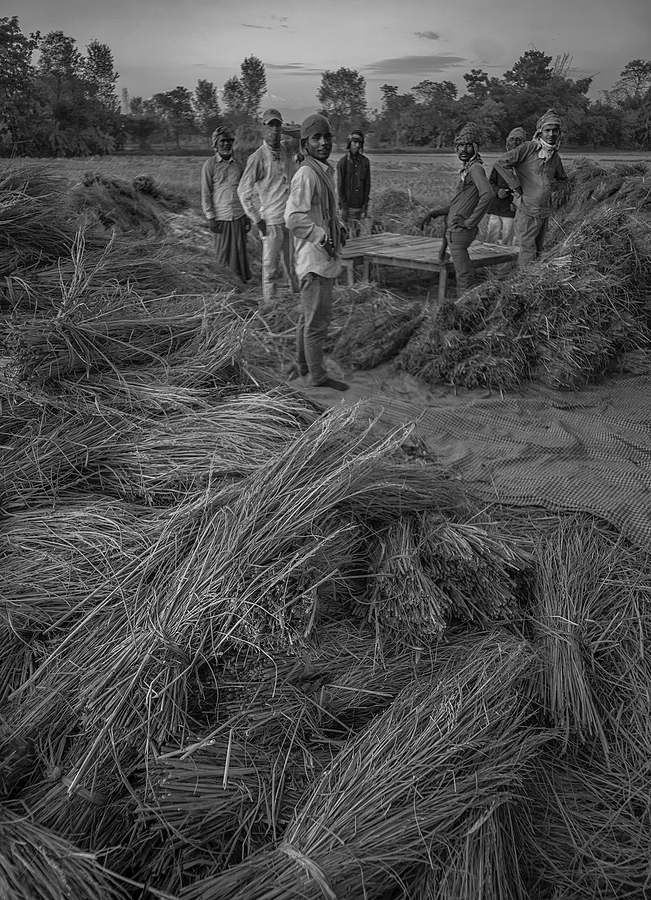 Threshing rice Nepal | ZEISS G BIOGON 21MM F2.8 <br> Click image for more details, Click <b>X</b> on top right of image to close