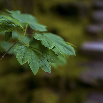 Vine maple and stairs | ZEISS DISTAGON F1.4 35MM