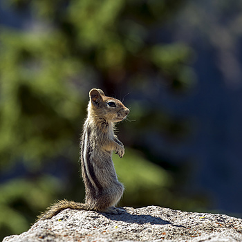 Chipmunk | ZEISS APO SONNAR F2 135MM <br> Click image for more details, Click <b>X</b> on top right of image to close