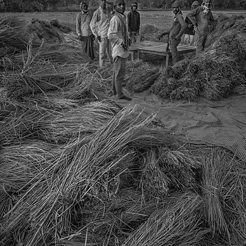 Threshing rice Nepal | ZEISS G BIOGON 21MM F2.8