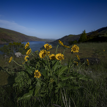Columbia Gorge wildflowers | ZEISS DISTAGON F2.8 21MM