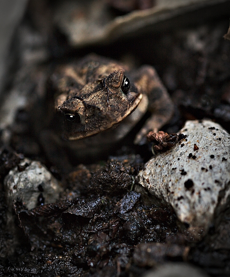 Texas Toad (Anaxyrus speciosus) | ZEISS MILVUS 100MM F2 <br> Click image for more details, Click <b>X</b> on top right of image to close