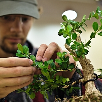 Dallas Bonsai Society: Wiring Bonsai