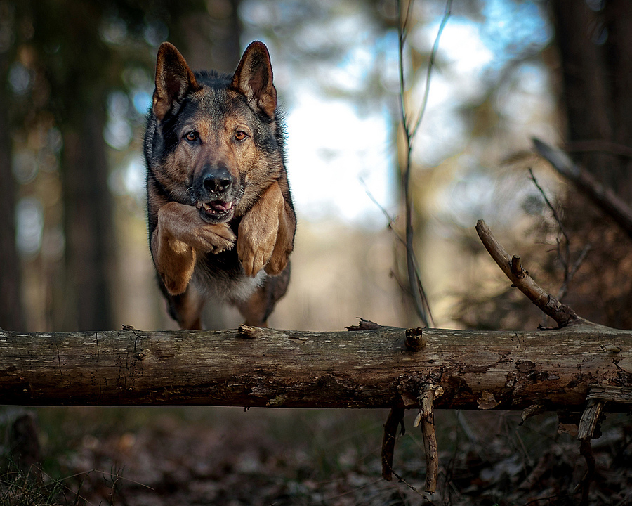 Jumping dog | ZEISS PLANAR F1.4 85MM <br> Click image for more details, Click <b>X</b> on top right of image to close