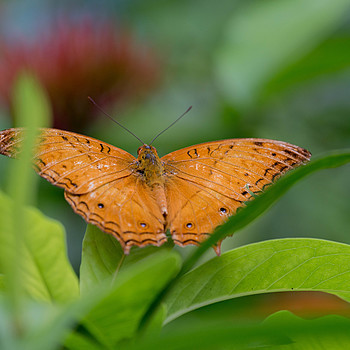 Orange butterfly | 135.0 MM F2.0 <br> Click image for more details, Click <b>X</b> on top right of image to close
