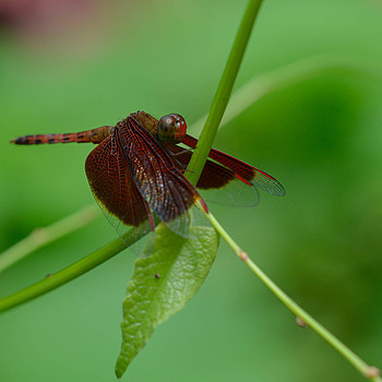 Red Dragonfly | 135.0 MM F2.0