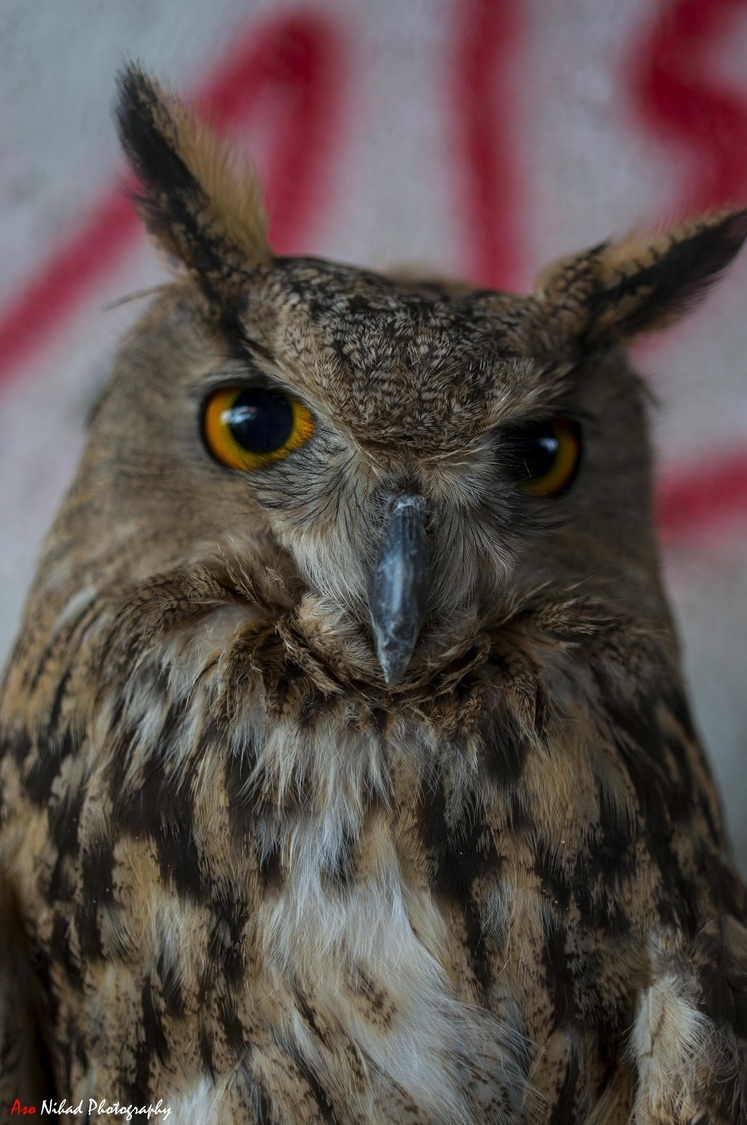 Long ear owl | ZEISS TOUIT F1.8 32MM <br> Click image for more details, Click <b>X</b> on top right of image to close