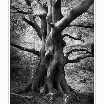 Ancient Tree | ZEISS ZM BIOGON F2.8 25MM <br> Click image for more details, Click <b>X</b> on top right of image to close