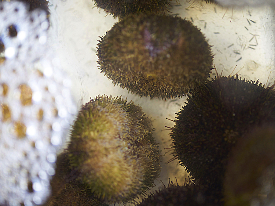 Sea Urchin | ZEISS OTUS DISTAGON 55MM F1.4 <br> Click image for more details, Click <b>X</b> on top right of image to close