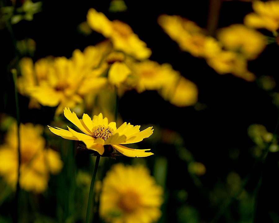 Yellow Flowers | ZEISS 645 VARIO-SONNAR 45—90MM F4.5 <br> Click image for more details, Click <b>X</b> on top right of image to close