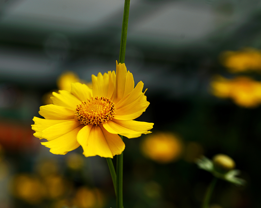 Yellow Flower | ZEISS 645 VARIO-SONNAR 45—90MM F4.5 <br> Click image for more details, Click <b>X</b> on top right of image to close